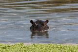 Hippopotamus, Masai Mara Photographic Print by Sergio Pitamitz