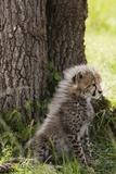 Cheetah Cub (Acinonyx Jubatus), Masai Mara, Kenya Photographic Print by Sergio Pitamitz