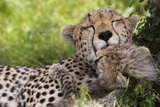 Cheetah (Acinonyx Jubatus) and Cub, Masai Mara, Kenya Photographic Print by Sergio Pitamitz
