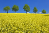 Line of Trees amidst Canola Fields Photographic Print by Frank Krahmer