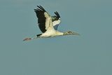 Wood Stork Flying against Blue Sky Photographic Print by Gary Carter