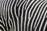 Pattern on Side of Grevy's Zebra (Equus Grevyi) Photographic Print by Scott T. Smith