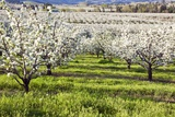 Blossoms in Orchard Photographic Print by Craig Tuttle