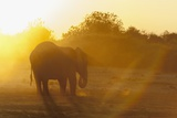 African Elephant (Loxodonta Africana) at Sunset Photographic Print by Sergio Pitamitz
