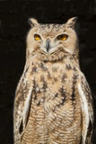 Spotted Eagle Owl Photographic Print by Hal Beral