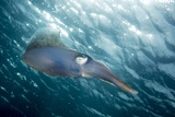 Caribbean Reef Squid (Sepioteuthis Sepioidea) Photographic Print by Stephen Frink