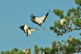 Group of Wood Storks Photographic Print by Gary Carter