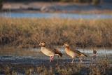 Egyptian Goose (Alopochen Aegyptiaca) Photographic Print by Sergio Pitamitz