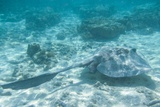 Stingray on the Great Barrier Reef Photographic Print by Nick Rains