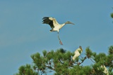 Wood Stork Landing on Tree Branch Photographic Print by Gary Carter