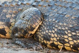 Nile Crocodile (Crocodylus Niloticus) Photographic Print by Sergio Pitamitz