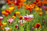 Poppies in Full Bloom Photographic Print by Terry Eggers