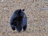 American Black Bear Photographic Print by Gary Carter