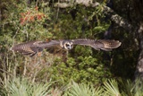 African Wood Owl in Flight Photographic Print by Hal Beral