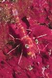 Striped Hinge-Beak Shrimp with Prey Photographic Print by Hal Beral