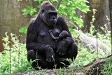 Gorilla Mom and Baby Photographic Print by Gary Carter