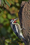 Yellow-Beilled Sapsucker Photographic Print by Gary Carter