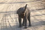 African Elephant Cub (Loxodonta Africana) Photographic Print by Sergio Pitamitz