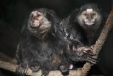 Wied's Marmosets (Callithrix Kulii) Photographic Print by Scott T. Smith