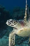 Hawksbill Turtle (Eretmochelys Imbricata) Photographic Print by Stephen Frink