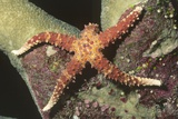 Watson's Sea Star Photographic Print by Hal Beral