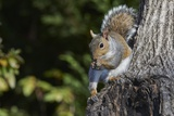 Grey Squirrel Photographic Print by Gary Carter