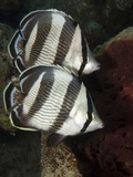 Pair of Banded Butterflyfish (Chaetodon Striatus) Photographic Print by Stephen Frink