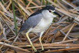 Black-Crowned Night-Heron Photographic Print by Hal Beral