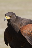 Harris's Hawk Closeup Photographic Print by Hal Beral