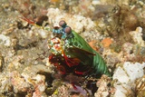 Peacock Mantis Shrimp Photographic Print by Hal Beral