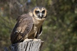 African Wood Owl Photographic Print by Hal Beral