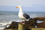 Seagull at Boiler Bay, Oregon, USA Photographic Print by Craig Tuttle