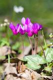 Wild Botanical Cyclamen Flowers Photographic Print by Frank Lukasseck