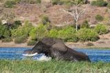 African Elephant (Loxodonta Africana) Crossing Chobe River Photographic Print by Sergio Pitamitz