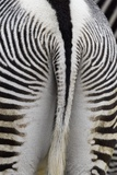 Tail & Hindquarters of of Grevy's Zebra (Equus Grevyi) Photographic Print by Scott T. Smith