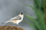Tufted Titmouse Photographic Print by Gary Carter
