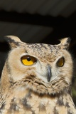 Spotted Eagle Owl Closeup Photographic Print by Hal Beral