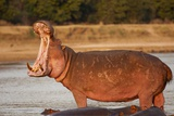 Hippopotamus Yawning Photographic Print by Michele Westmorland