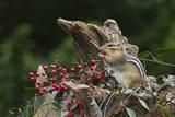 Eastern Chipmunk Fotografisk tryk af Gary Carter