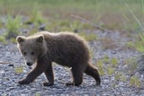 Scrawny Grizzly Bear Cub Photographic Print by W. Perry Conway