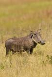 Warthog Photographic Print by Michele Westmorland