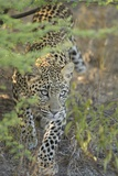 Young Leopard Photographic Print by Michele Westmorland