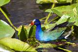 Purple Gallinule on Lily Pads Photographic Print by Terry Eggers