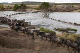 Wildebeest Crossing the River Mara Photographic Print by Sergio Pitamitz