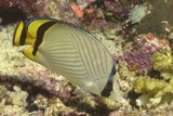 Vagabond Butterfly Fish Photographic Print by Hal Beral
