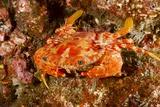 Batwing Swimming Crab Fotografisk tryk af Michele Westmorland