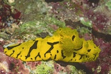 Banana Nudibranch Photographic Print by Hal Beral