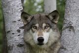 Wolf in Birches Fotoprint av W. Perry Conway