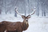 Snowy Antlers Photographic Print by Joanna Jackson