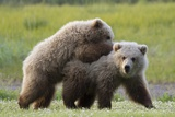 Playful Grizzly Bear Cubs Photographic Print by W. Perry Conway